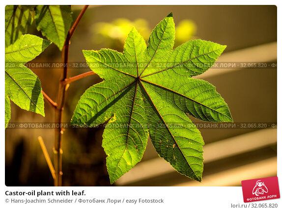 Castor-oil plant with leaf. Стоковое фото, фотограф Hans-Joachim Schneider / easy Fotostock / Фотобанк Лори