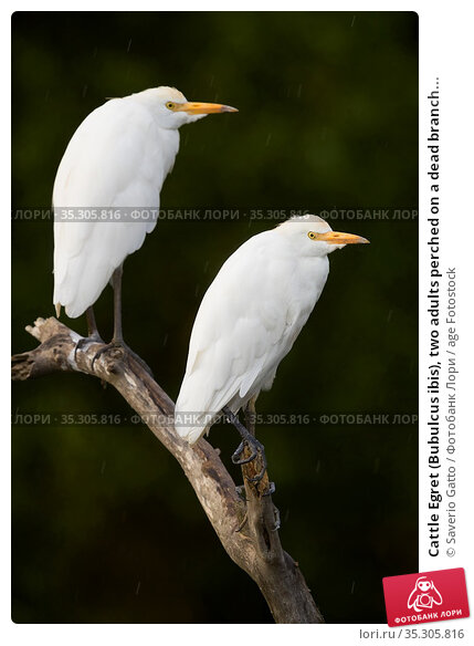 Cattle Egret (Bubulcus ibis), two adults perched on a dead branch... Стоковое фото, фотограф Saverio Gatto / age Fotostock / Фотобанк Лори