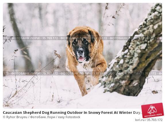 Caucasian Shepherd Dog Running Outdoor In Snowy Forest At Winter Day... Стоковое фото, фотограф Ryhor Bruyeu / easy Fotostock / Фотобанк Лори