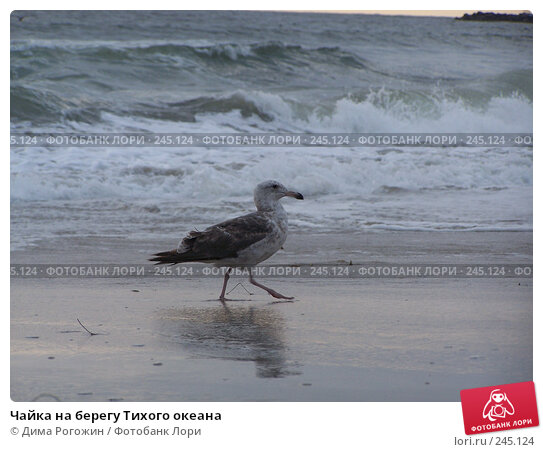 Чайка на берегу Тихого океана, фото № 245124, снято 11 июня 2006 г. (c) Дима Рогожин / Фотобанк Лори