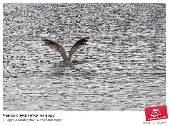 Чайка опускается на воду, эксклюзивное фото № 158256, снято 16 сентября 2007 г. (c) Ирина Мойсеева / Фотобанк Лори