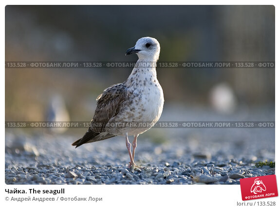 Чайка. The seagull, фото № 133528, снято 19 сентября 2006 г. (c) Андрей Андреев / Фотобанк Лори