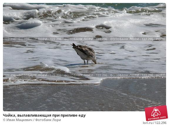 Чайка, вылавливающая при приливе еду, фото № 122296, снято 11 сентября 2007 г. (c) Иван Мацкевич / Фотобанк Лори