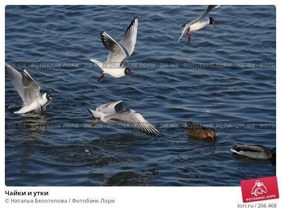 Чайки и утки, фото № 266468, снято 29 марта 2008 г. (c) Наталья Белотелова / Фотобанк Лори