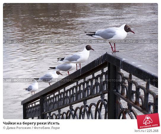 Купить «Чайки на берегу реки Исеть», фото № 225268, снято 3 мая 2007 г. (c) Дима Рогожин / Фотобанк Лори