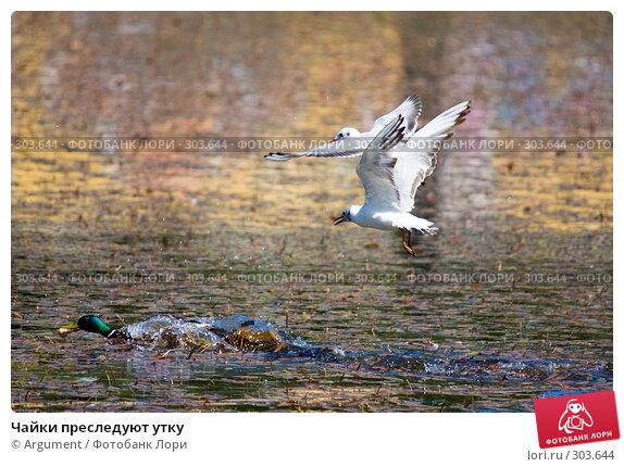 Чайки преследуют утку, фото № 303644, снято 28 мая 2008 г. (c) Argument / Фотобанк Лори