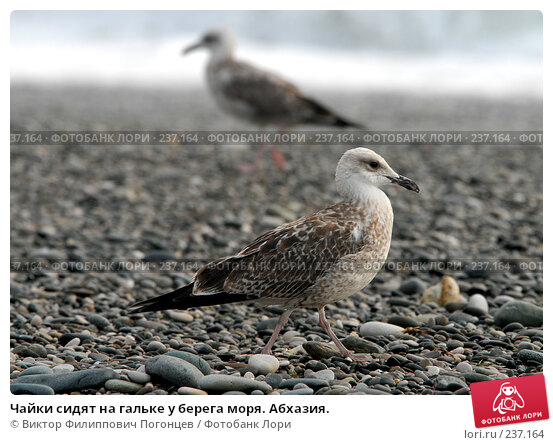 Чайки сидят на гальке у берега моря. Абхазия., фото № 237164, снято 1 сентября 2006 г. (c) Виктор Филиппович Погонцев / Фотобанк Лори