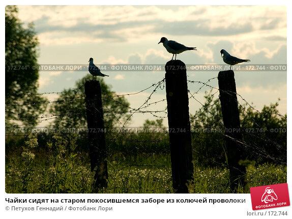 Купить «Чайки сидят на старом покосившемся заборе из колючей проволоки», фото № 172744, снято 30 июня 2007 г. (c) Петухов Геннадий / Фотобанк Лори