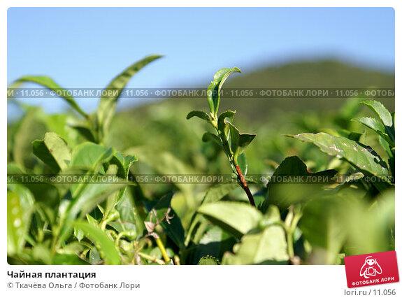 Чайная плантация, фото № 11056, снято 4 октября 2006 г. (c) Ткачёва Ольга / Фотобанк Лори