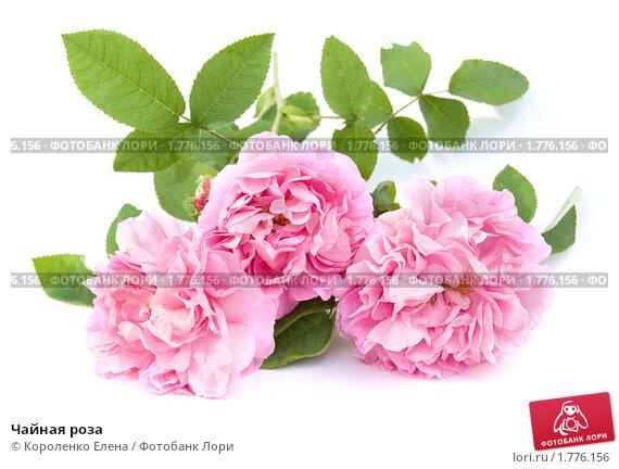 Купить «Чайная роза», фото № 1776156, снято 5 июня 2010 г. (c) Короленко Елена / Фотобанк Лори