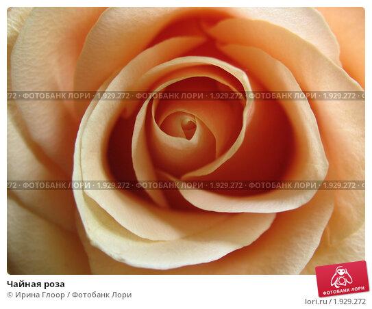 Чайная роза. Стоковое фото, фотограф Ирина Глоор / Фотобанк Лори