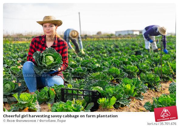 Cheerful girl harvesting savoy cabbage on farm plantation. Стоковое фото, фотограф Яков Филимонов / Фотобанк Лори