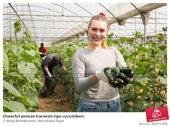 Cheerful woman harvests ripe cucumbers. Стоковое фото, фотограф Яков Филимонов / Фотобанк Лори
