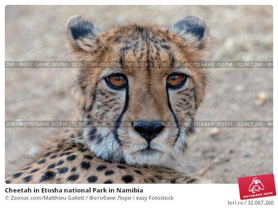 Cheetah in Etosha national Park in Namibia. Стоковое фото, фотограф Zoonar.com/Matthieu Gallett / easy Fotostock / Фотобанк Лори