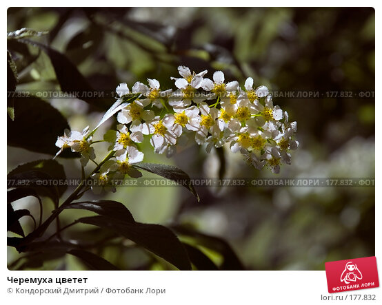 Черемуха цветет, фото № 177832, снято 15 мая 2007 г. (c) Кондорский Дмитрий / Фотобанк Лори