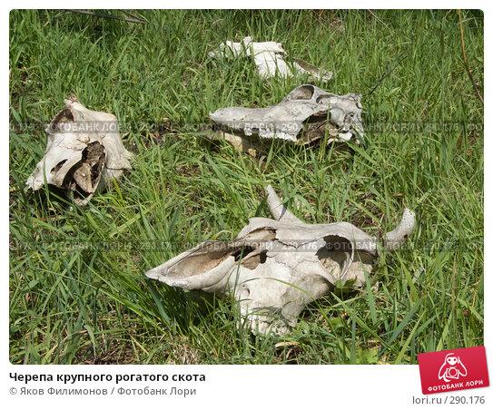 Черепа крупного рогатого скота, фото № 290176, снято 18 мая 2008 г. (c) Яков Филимонов / Фотобанк Лори