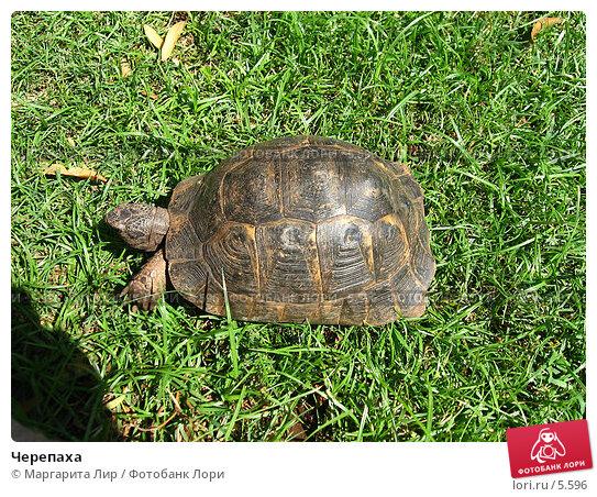 Черепаха, фото № 5596, снято 12 июля 2006 г. (c) Маргарита Лир / Фотобанк Лори