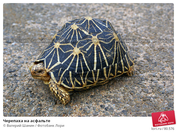 Черепаха на асфальте, фото № 80576, снято 15 июня 2007 г. (c) Валерий Шанин / Фотобанк Лори