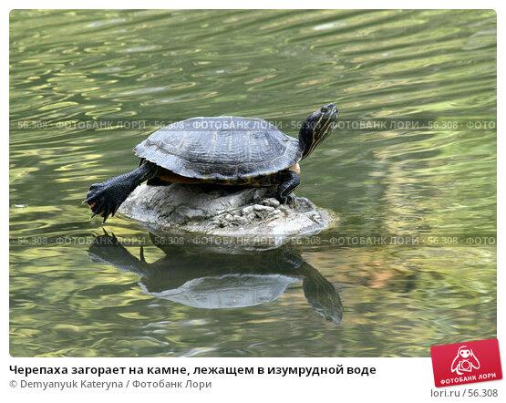 Черепаха загорает на камне, лежащем в изумрудной воде, фото № 56308, снято 20 февраля 2017 г. (c) Demyanyuk Kateryna / Фотобанк Лори