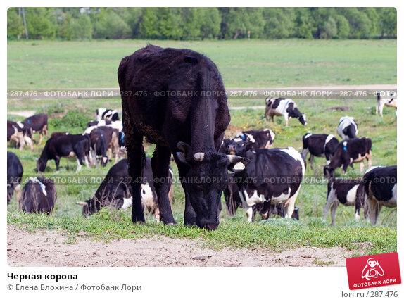 Черная корова, фото № 287476, снято 16 мая 2008 г. (c) Елена Блохина / Фотобанк Лори