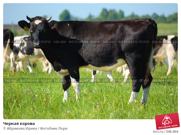 Купить «Черная корова», фото № 348464, снято 3 июня 2008 г. (c) Абрамова Ирина / Фотобанк Лори