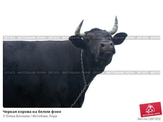 Купить «Черная корова на белом фоне», фото № 297072, снято 21 мая 2008 г. (c) Елена Блохина / Фотобанк Лори