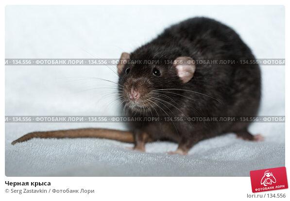 Черная крыса, фото № 134556, снято 11 октября 2006 г. (c) Serg Zastavkin / Фотобанк Лори