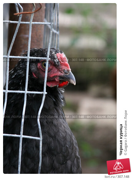 Черная курица, фото № 307148, снято 22 июля 2006 г. (c) Gagara / Фотобанк Лори