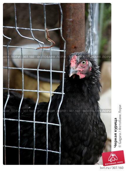 Черная курица, фото № 307160, снято 22 июля 2006 г. (c) Gagara / Фотобанк Лори