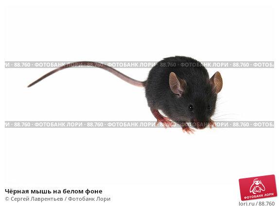 Чёрная мышь на белом фоне, фото № 88760, снято 23 сентября 2007 г. (c) Сергей Лаврентьев / Фотобанк Лори