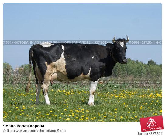 Купить «Черно белая корова», фото № 327504, снято 18 мая 2008 г. (c) Яков Филимонов / Фотобанк Лори