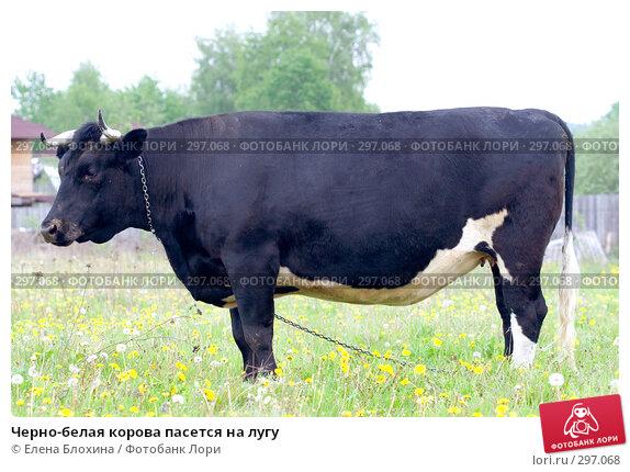 Черно-белая корова пасется на лугу, фото № 297068, снято 21 мая 2008 г. (c) Елена Блохина / Фотобанк Лори