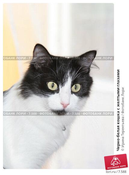 Черно-белая кошка с желтыми глазами, эксклюзивное фото № 7588, снято 29 июля 2005 г. (c) Ирина Терентьева / Фотобанк Лори