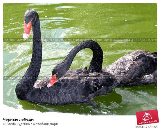 Купить «Черные лебеди», фото № 55188, снято 12 сентября 2006 г. (c) Елена Руденко / Фотобанк Лори