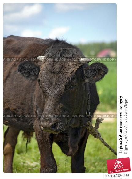 Купить «Черный бык пасется на лугу», фото № 324156, снято 14 июня 2008 г. (c) Igor Lijashkov / Фотобанк Лори