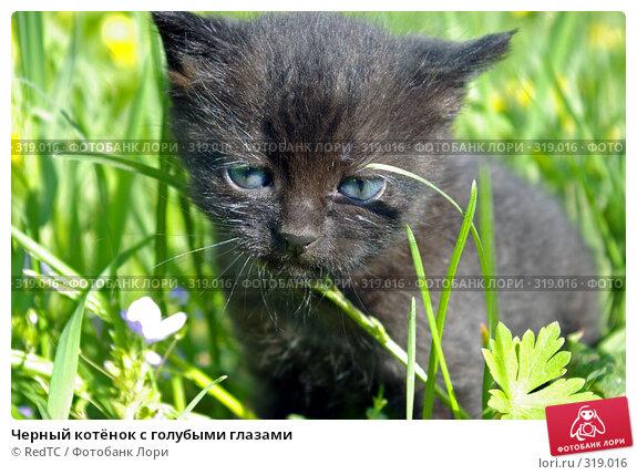 Купить «Черный котёнок с голубыми глазами», фото № 319016, снято 9 июня 2008 г. (c) RedTC / Фотобанк Лори