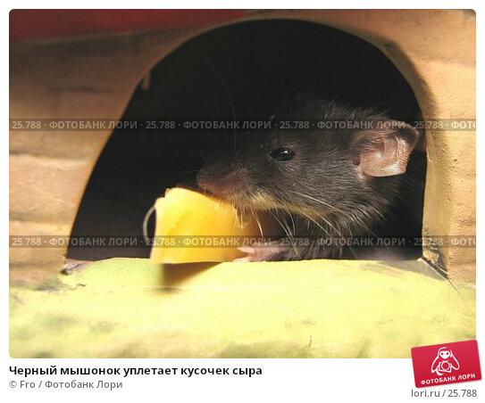 Черный мышонок уплетает кусочек сыра, фото № 25788, снято 18 марта 2007 г. (c) Fro / Фотобанк Лори