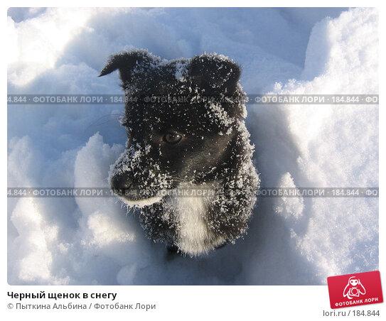 Купить «Черный щенок в снегу», фото № 184844, снято 16 января 2007 г. (c) Пыткина Альбина / Фотобанк Лори