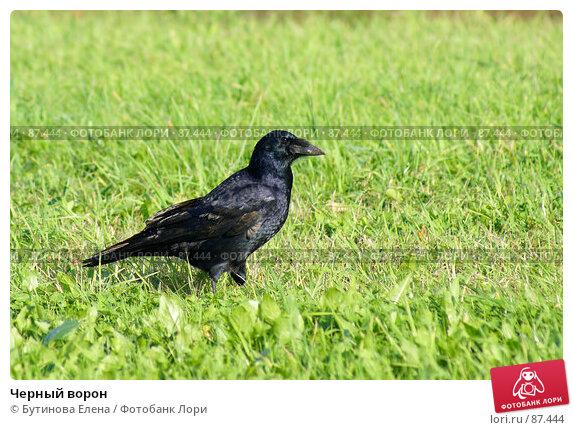 Черный ворон, фото № 87444, снято 23 сентября 2007 г. (c) Бутинова Елена / Фотобанк Лори