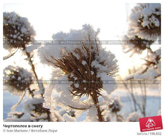 Чертополох в снегу, фото № 198832, снято 13 января 2008 г. (c) Василий Каргандюм / Фотобанк Лори