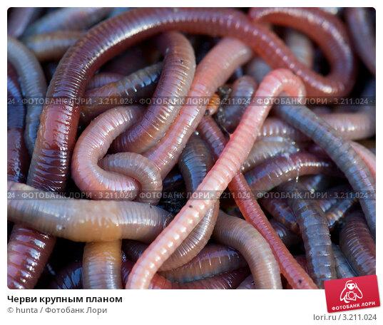 черви в пиписки фото