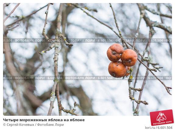 Четыре мороженных яблока на яблоне. Стоковое фото, фотограф Сергей Кочевых / Фотобанк Лори