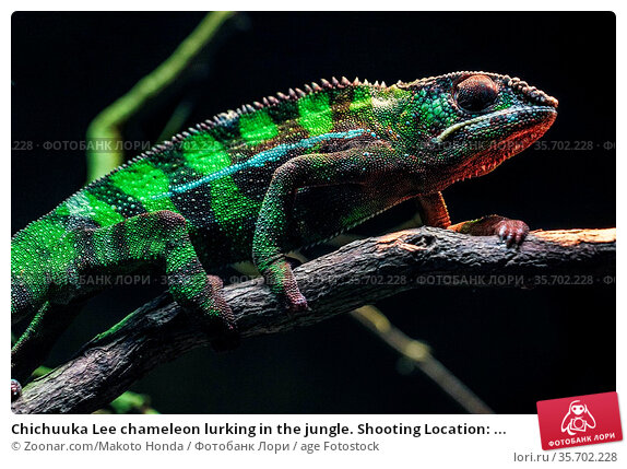 Chichuuka Lee chameleon lurking in the jungle. Shooting Location: ... Стоковое фото, фотограф Zoonar.com/Makoto Honda / age Fotostock / Фотобанк Лори