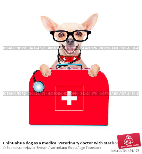 Chihuahua dog as a medical veterinary doctor with stethoscope and... Стоковое фото, фотограф Zoonar.com/Javier Brosch / age Fotostock / Фотобанк Лори