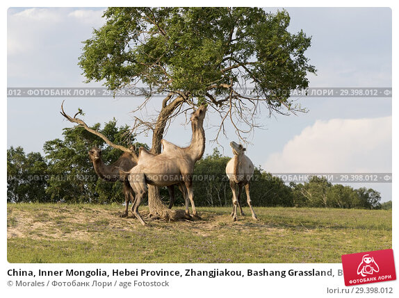Купить «China, Inner Mongolia, Hebei Province, Zhangjiakou, Bashang Grassland, Bactrian camel (Camelus bactrianus), eat leaves of tree branches.», фото № 29398012, снято 1 июля 2018 г. (c) age Fotostock / Фотобанк Лори
