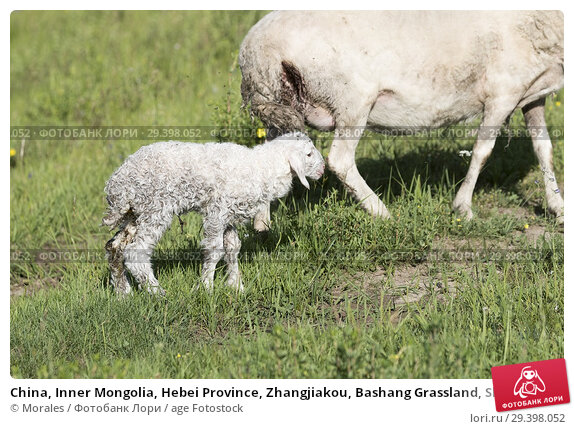 Купить «China, Inner Mongolia, Hebei Province, Zhangjiakou, Bashang Grassland, Sheep, adult with young, Mother and baby just born.», фото № 29398052, снято 4 июля 2018 г. (c) age Fotostock / Фотобанк Лори