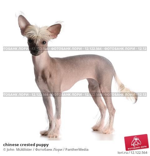 Купить «chinese crested puppy», фото № 12122564, снято 15 сентября 2019 г. (c) PantherMedia / Фотобанк Лори
