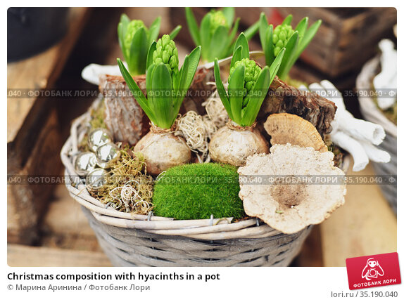 Christmas composition with hyacinths in a pot. Стоковое фото, фотограф Ирина Аринина / Фотобанк Лори