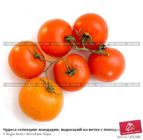Купить «Чудеса селекции: мандарин, выросший на ветке с помидорами», фото № 255680, снято 6 марта 2008 г. (c) Rogal Anna / Фотобанк Лори