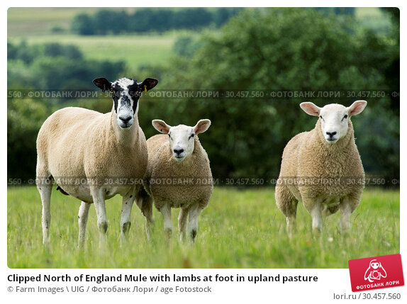 Clipped North of England Mule with lambs at foot in upland pasture. Стоковое фото, фотограф Farm Images \ UIG / age Fotostock / Фотобанк Лори